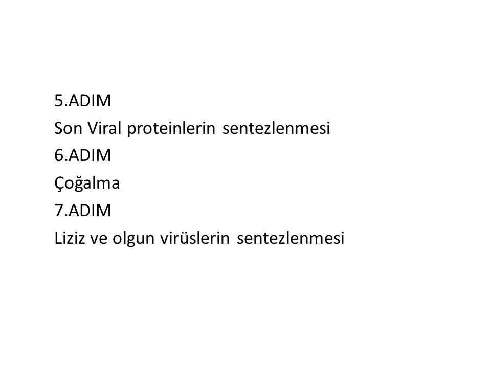 5. ADIM Son Viral proteinlerin sentezlenmesi 6. ADIM Çoğalma 7