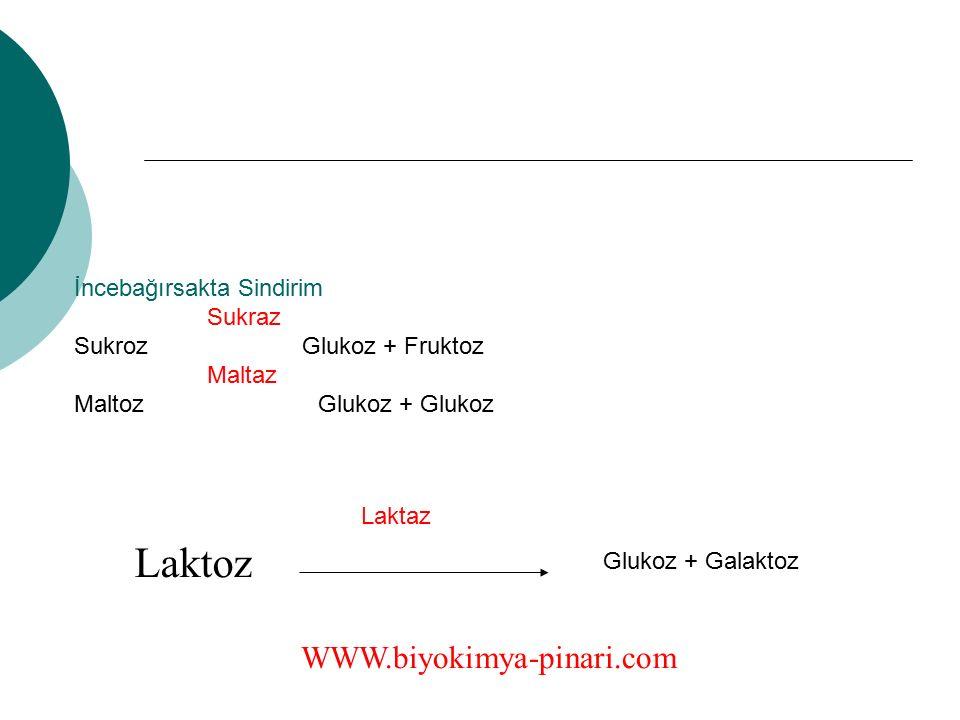 Laktoz WWW.biyokimya-pinari.com İncebağırsakta Sindirim Sukraz