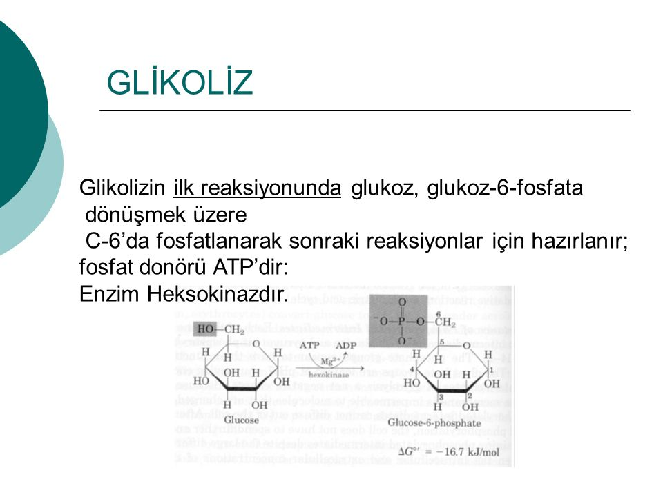 GLİKOLİZ Glikolizin ilk reaksiyonunda glukoz, glukoz-6-fosfata