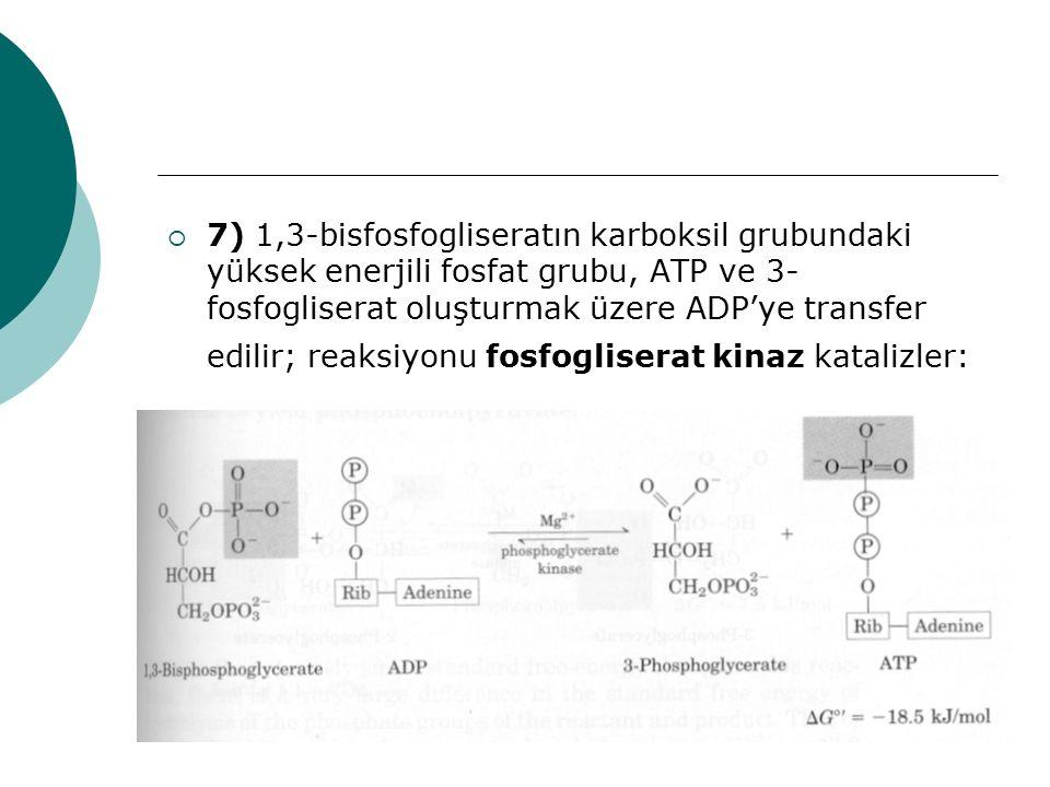 7) 1,3-bisfosfogliseratın karboksil grubundaki yüksek enerjili fosfat grubu, ATP ve 3-fosfogliserat oluşturmak üzere ADP'ye transfer edilir; reaksiyonu fosfogliserat kinaz katalizler: