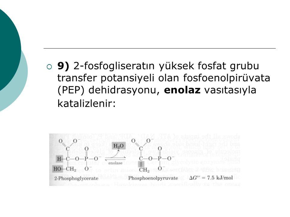 9) 2-fosfogliseratın yüksek fosfat grubu transfer potansiyeli olan fosfoenolpirüvata (PEP) dehidrasyonu, enolaz vasıtasıyla katalizlenir: