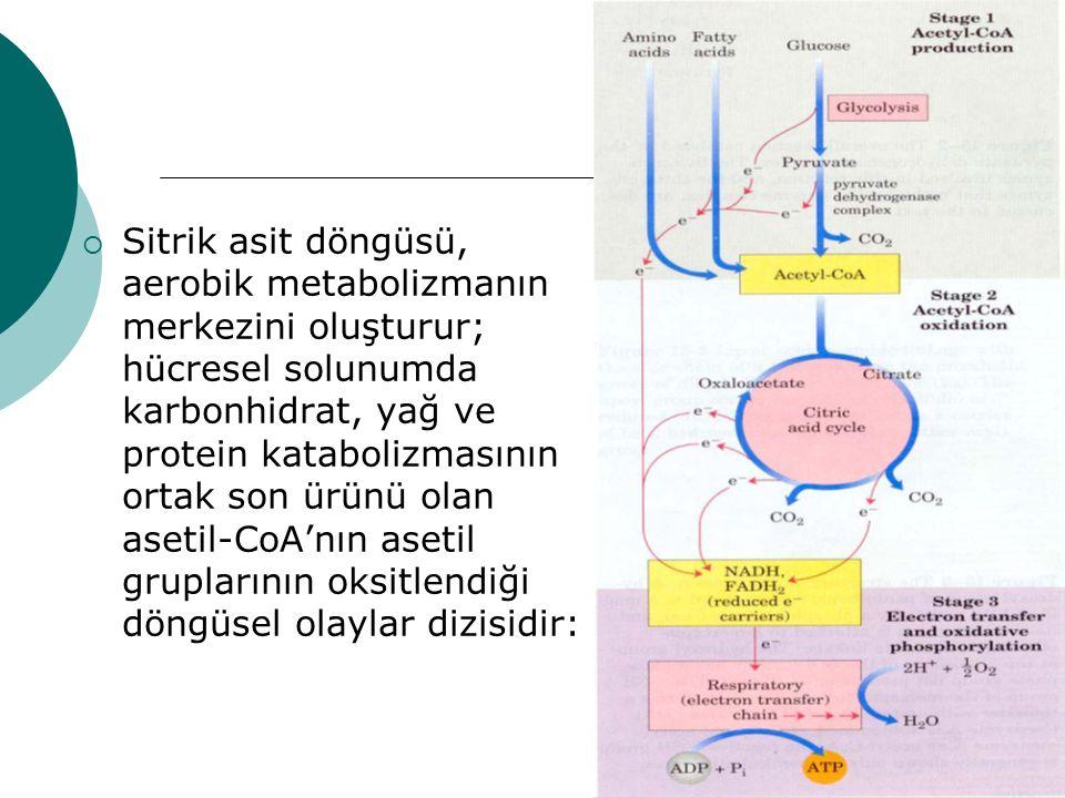 Sitrik asit döngüsü, aerobik metabolizmanın merkezini oluşturur; hücresel solunumda karbonhidrat, yağ ve protein katabolizmasının ortak son ürünü olan asetil-CoA'nın asetil gruplarının oksitlendiği döngüsel olaylar dizisidir: