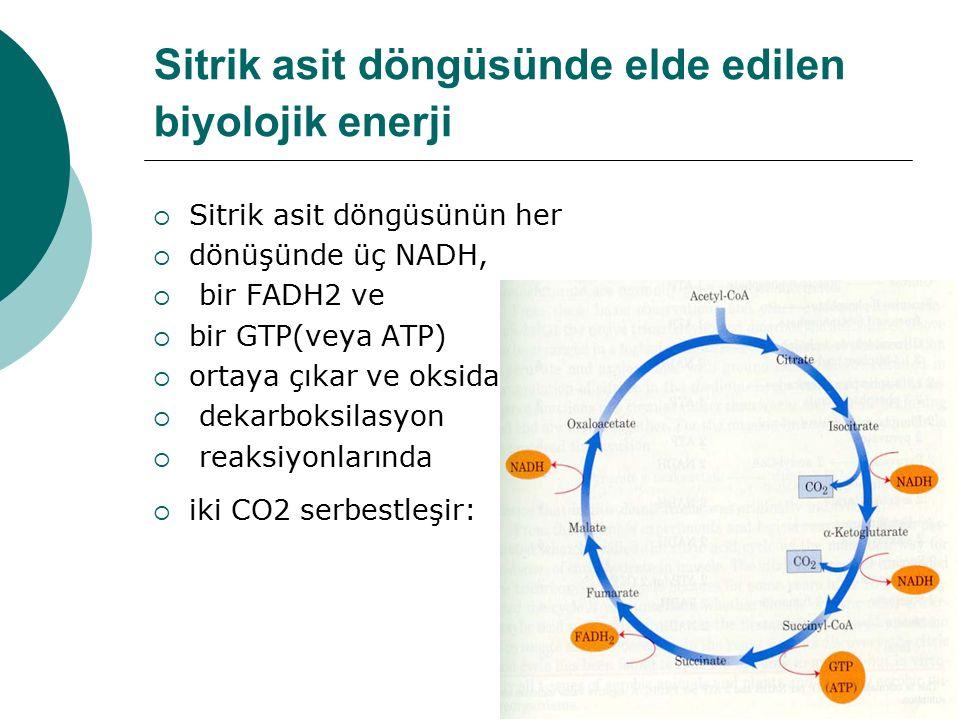 Sitrik asit döngüsünde elde edilen biyolojik enerji