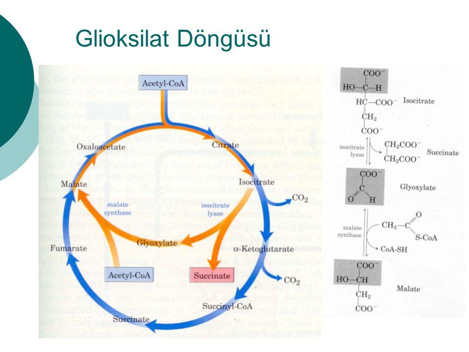 Glioksilat Döngüsü