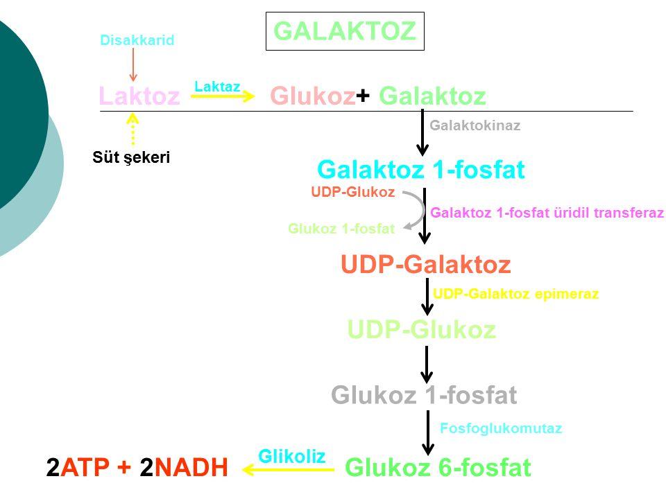 Galaktoz 1-fosfat üridil transferaz UDP-Galaktoz epimeraz