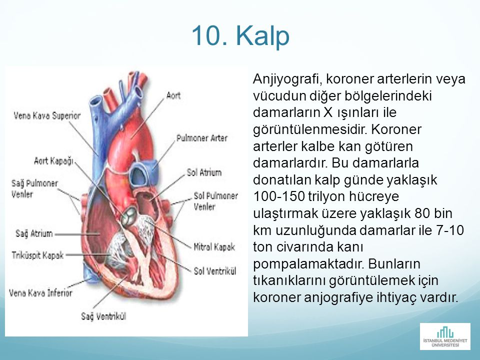 10. Kalp