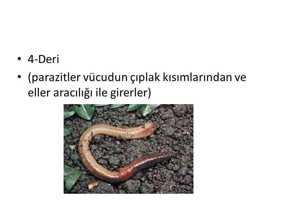 4-Deri (parazitler vücudun çıplak kısımlarından ve eller aracılığı ile girerler)