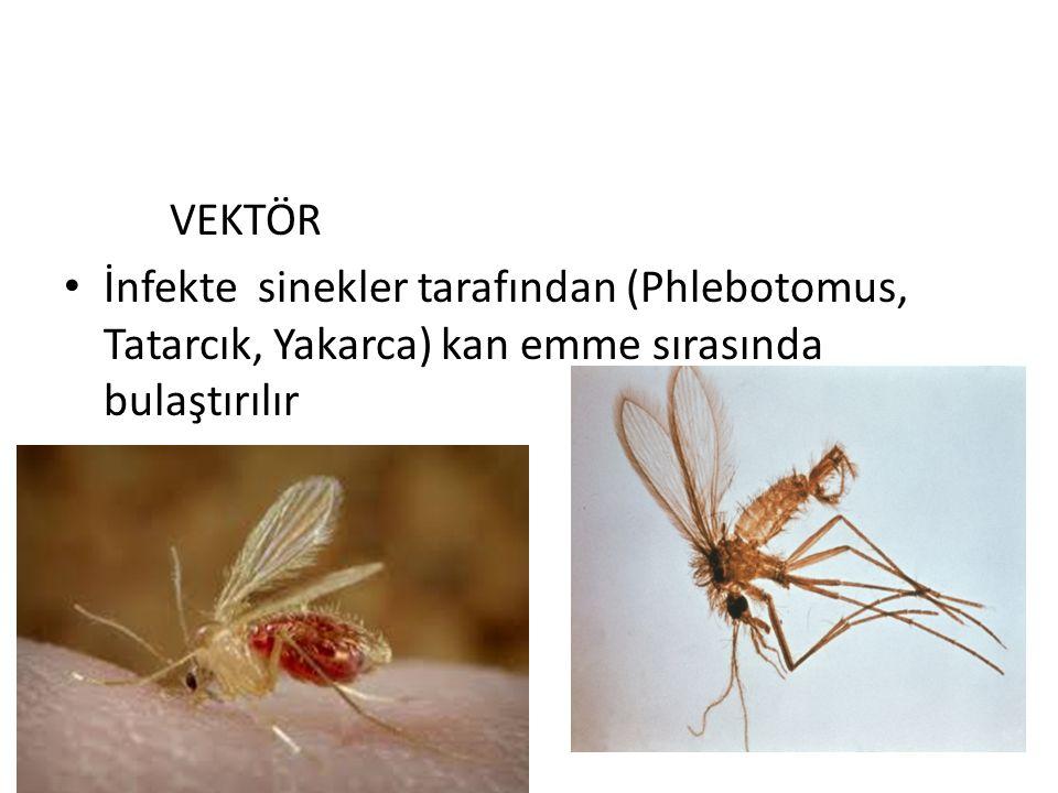 VEKTÖR İnfekte sinekler tarafından (Phlebotomus, Tatarcık, Yakarca) kan emme sırasında bulaştırılır.