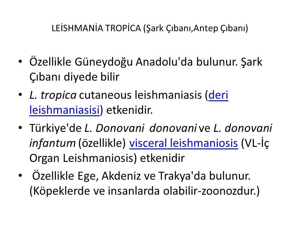 LEİSHMANİA TROPİCA (Şark Çıbanı,Antep Çıbanı)
