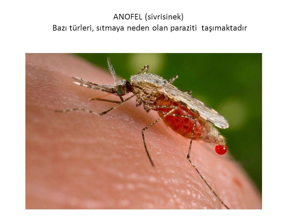 ANOFEL (sivrisinek) Bazı türleri, sıtmaya neden olan paraziti taşımaktadır