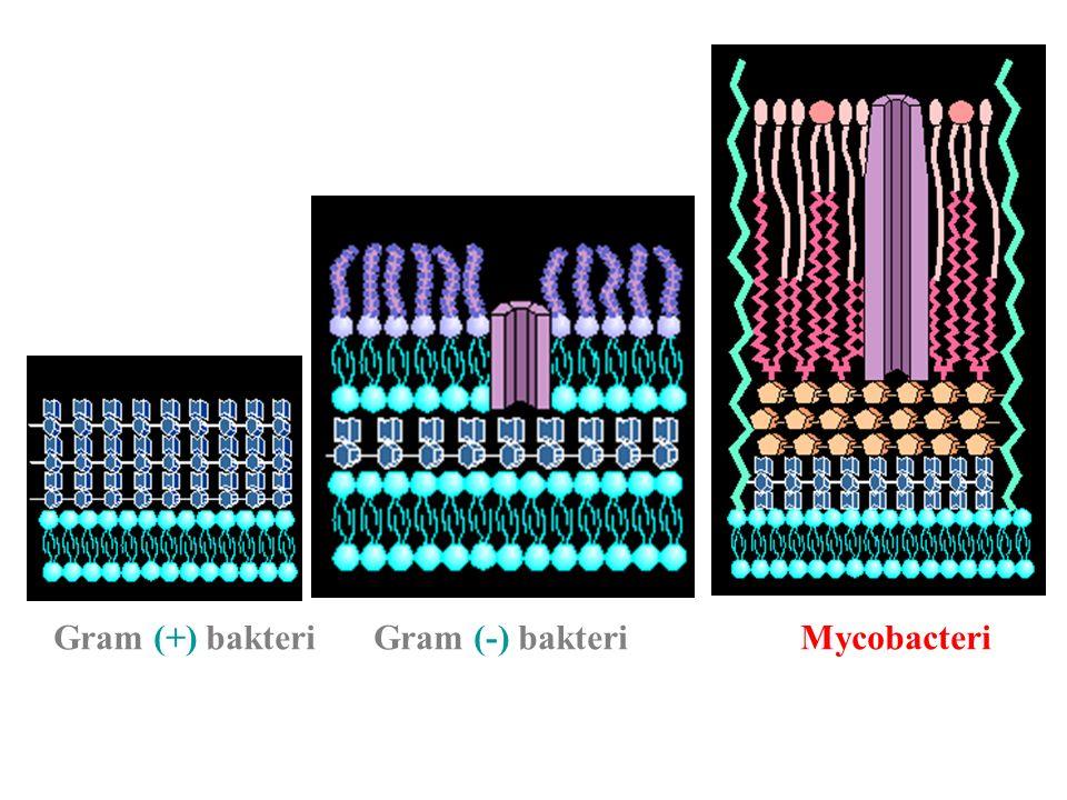 Gram (+) bakteri Gram (-) bakteri Mycobacteri