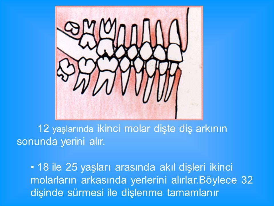 12 yaşlarında ikinci molar dişte diş arkının sonunda yerini alır.