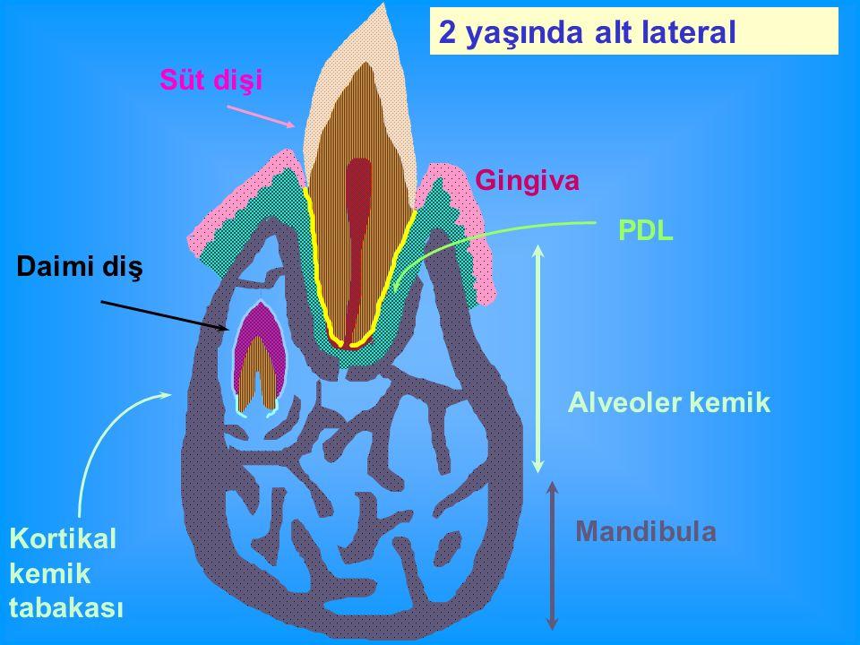 2 yaşında alt lateral Süt dişi Gingiva PDL Daimi diş Alveoler kemik