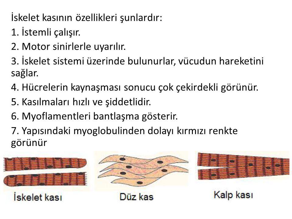 İskelet kasının özellikleri şunlardır: 1. İstemli çalışır. 2