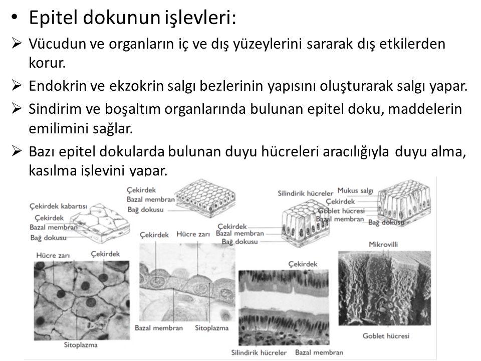 Epitel dokunun işlevleri: