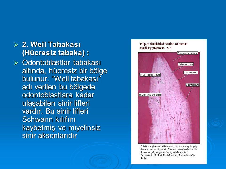 2. Weil Tabakası (Hücresiz tabaka) :