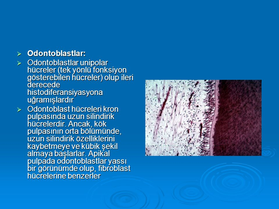 Odontoblastlar: Odontoblastlar unipolar hücreler (tek yönlü fonksiyon gösterebilen hücreler) olup ileri derecede histodiferansiyasyona uğramışlardır.