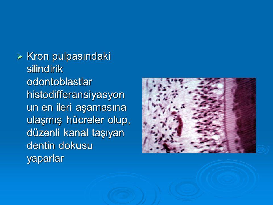 Kron pulpasındaki silindirik odontoblastlar histodifferansiyasyonun en ileri aşamasına ulaşmış hücreler olup, düzenli kanal taşıyan dentin dokusu yaparlar