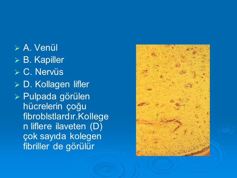 A. Venül B. Kapiller. C. Nervüs. D. Kollagen lifler.