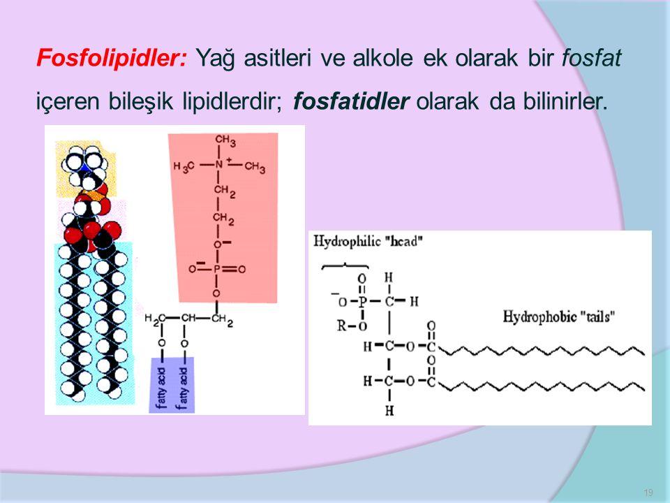 Fosfolipidler: Yağ asitleri ve alkole ek olarak bir fosfat içeren bileşik lipidlerdir; fosfatidler olarak da bilinirler.