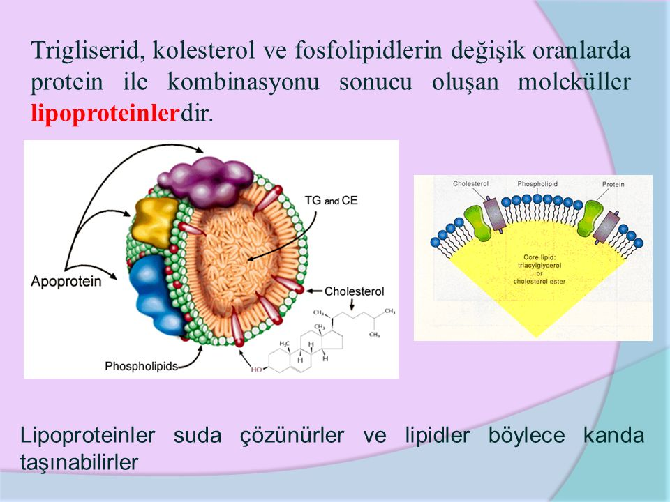Trigliserid, kolesterol ve fosfolipidlerin değişik oranlarda protein ile kombinasyonu sonucu oluşan moleküller lipoproteinlerdir.