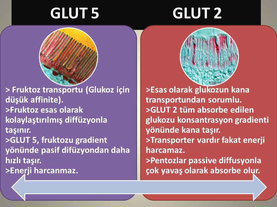 GLUT 5 GLUT 2