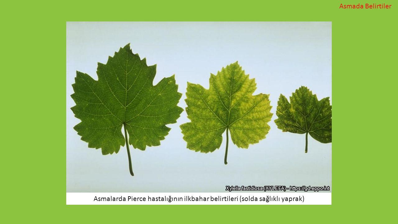 Asmada Belirtiler Asmalarda Pierce hastalığının ilkbahar belirtileri (solda sağlıklı yaprak)