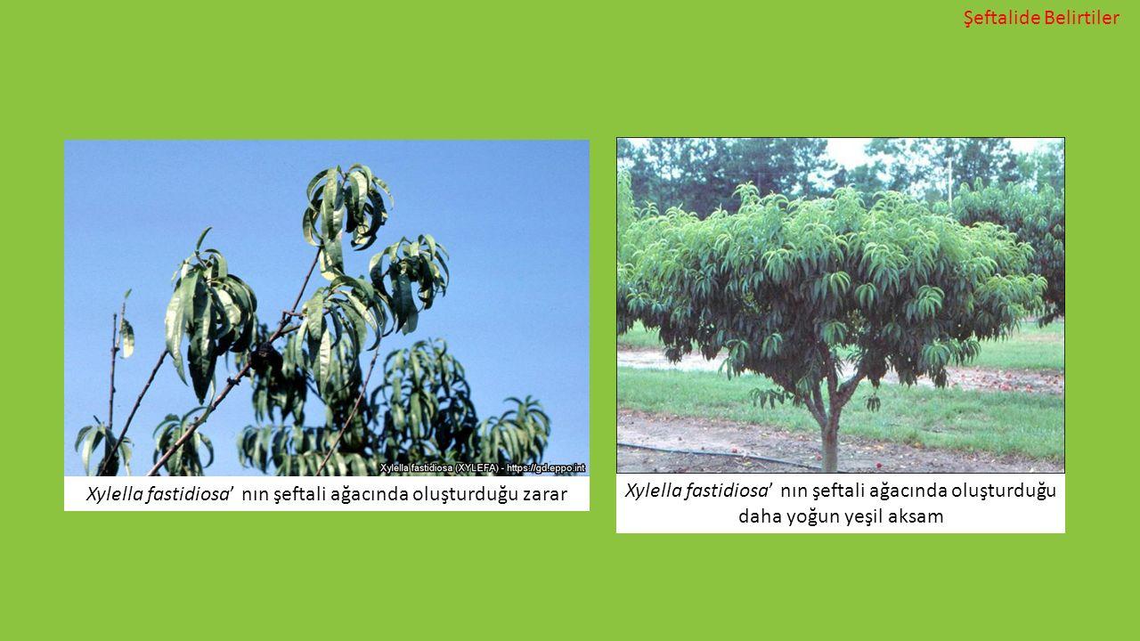 Xylella fastidiosa' nın şeftali ağacında oluşturduğu zarar