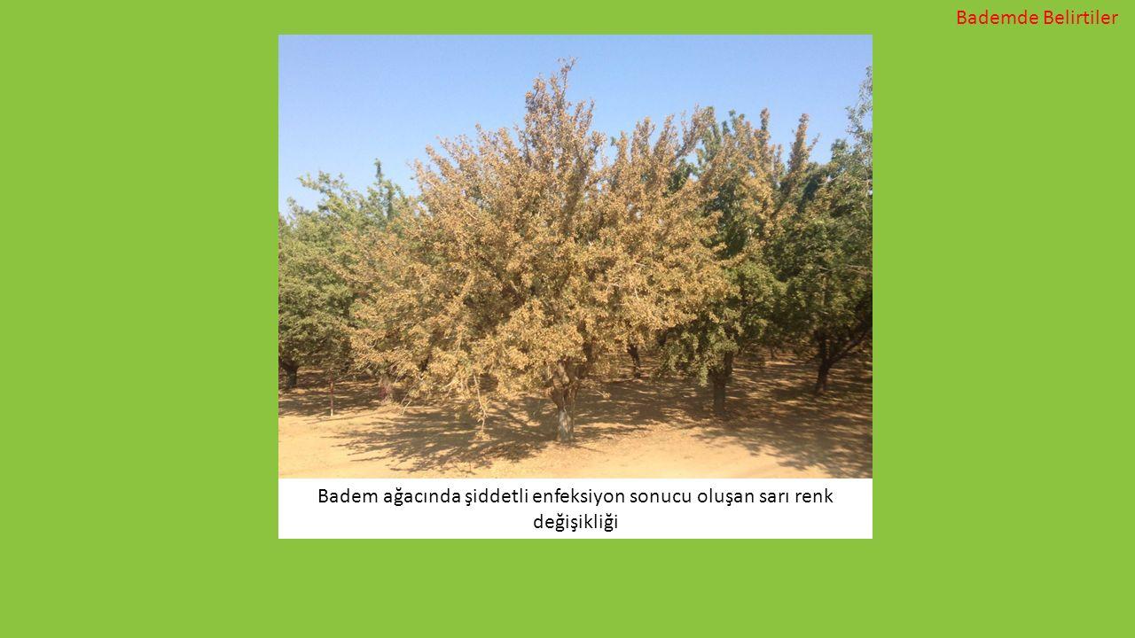 Badem ağacında şiddetli enfeksiyon sonucu oluşan sarı renk değişikliği