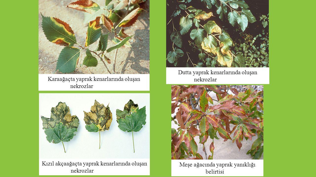 Dutta yaprak kenarlarında oluşan nekrozlar