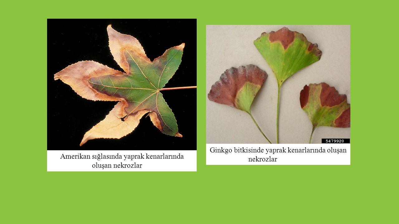 Ginkgo bitkisinde yaprak kenarlarında oluşan nekrozlar