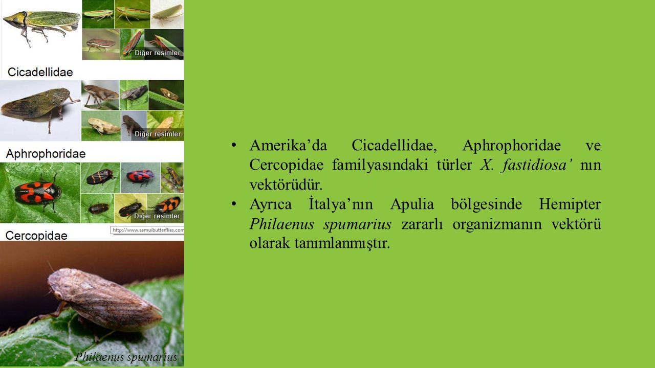 Amerika'da Cicadellidae, Aphrophoridae ve Cercopidae familyasındaki türler X. fastidiosa' nın vektörüdür.
