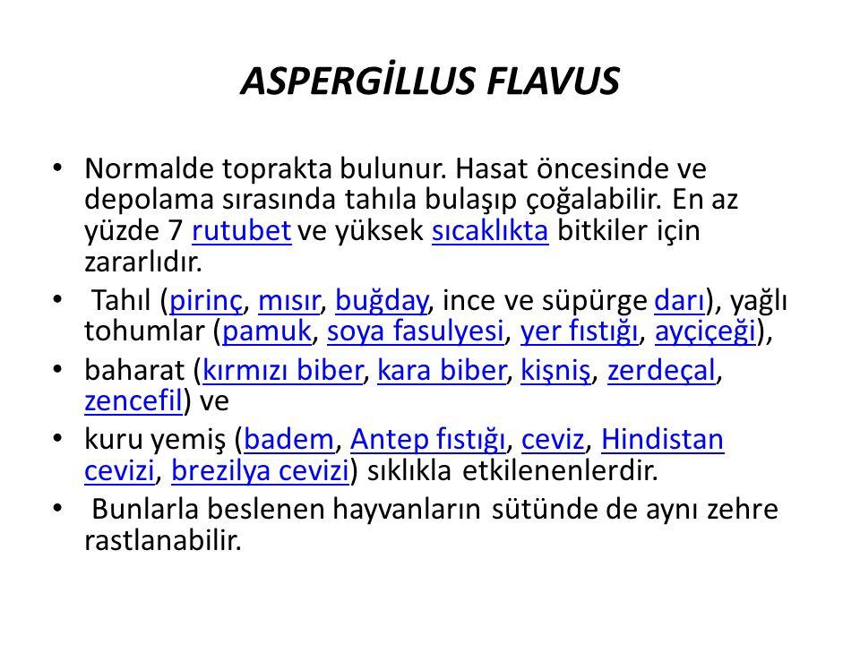 ASPERGİLLUS FLAVUS
