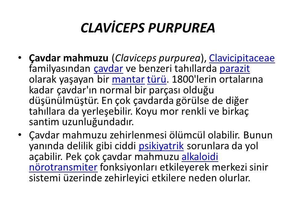 CLAVİCEPS PURPUREA