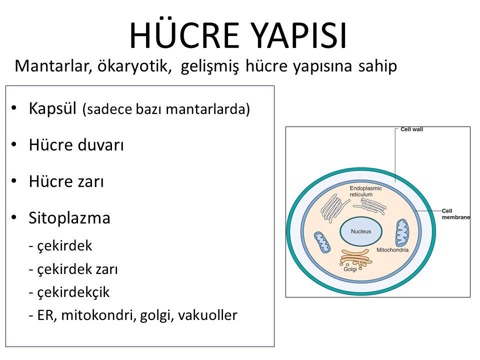 HÜCRE YAPISI Mantarlar, ökaryotik, gelişmiş hücre yapısına sahip
