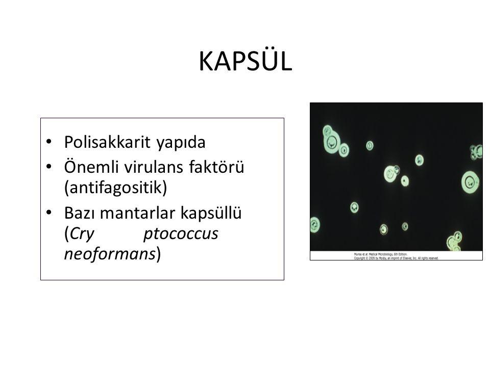 KAPSÜL Polisakkarit yapıda Önemli virulans faktörü (antifagositik)