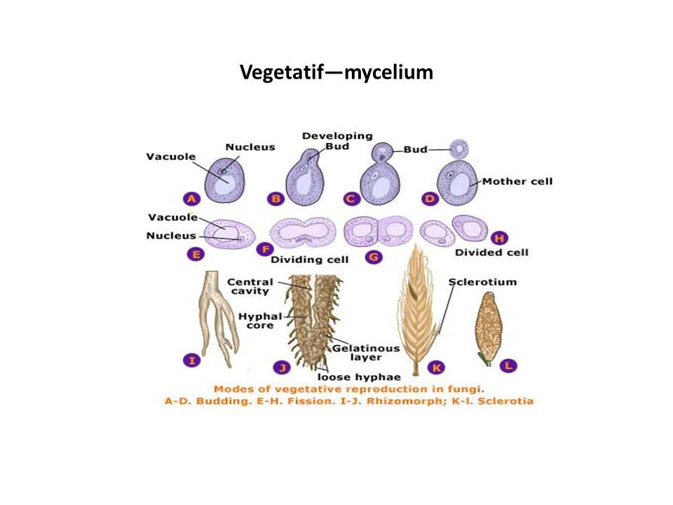 Vegetatif—mycelium