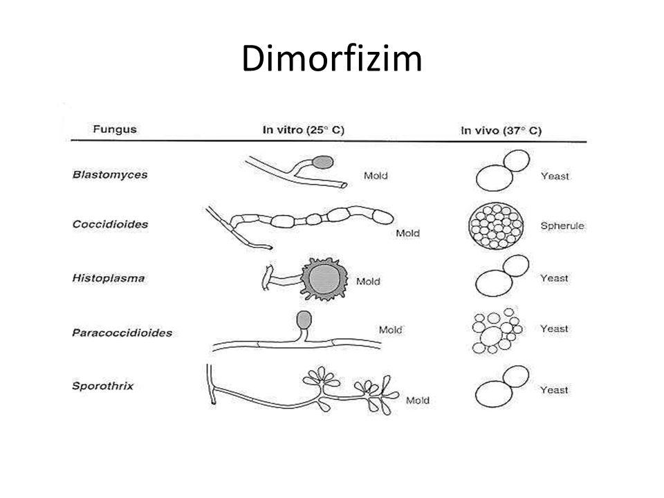 Dimorfizim
