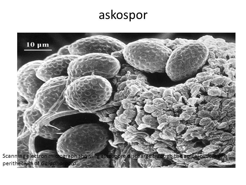 askospor Scanning electron micrograph showing ascospore discharge through the apical ostiole of a perithecium of Gelasinospora.