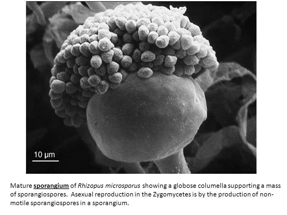 Mature sporangium of Rhizopus microsporus showing a globose columella supporting a mass of sporangiospores.