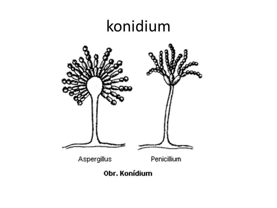 konidium