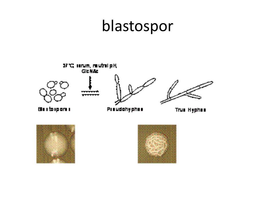 blastospor