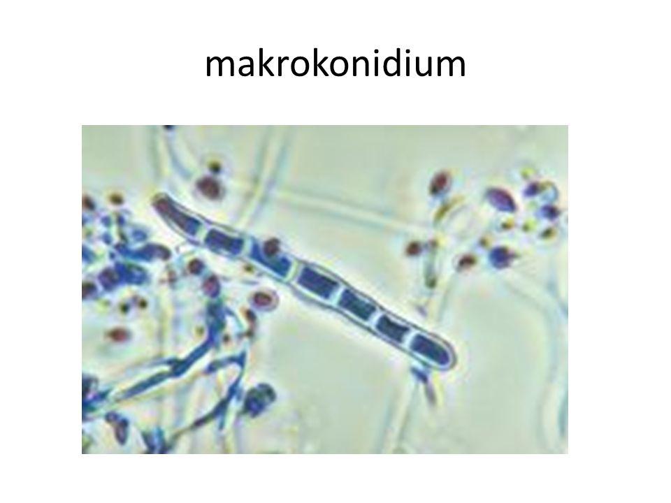 makrokonidium