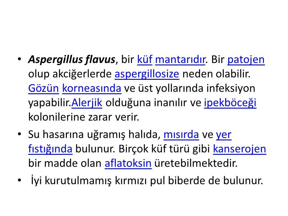 Aspergillus flavus, bir küf mantarıdır
