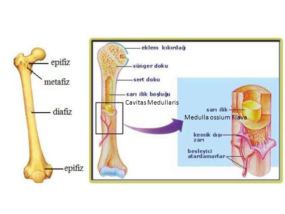 Cavitas Medullaris Medulla ossium Flava