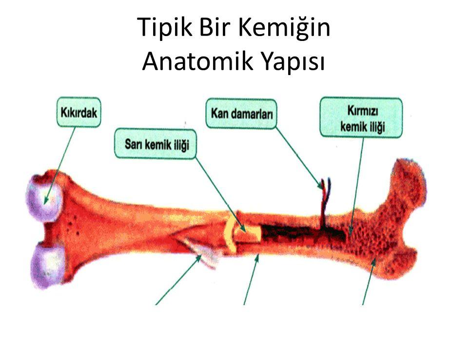 Tipik Bir Kemiğin Anatomik Yapısı