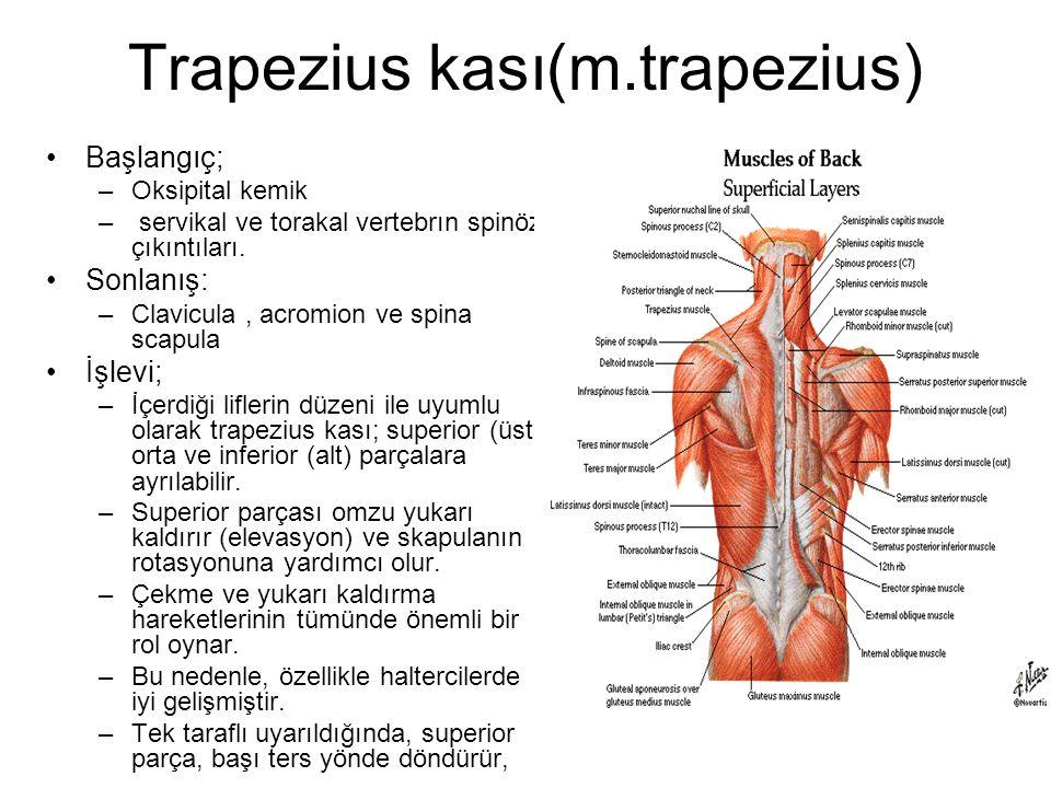 Trapezius kası(m.trapezius)