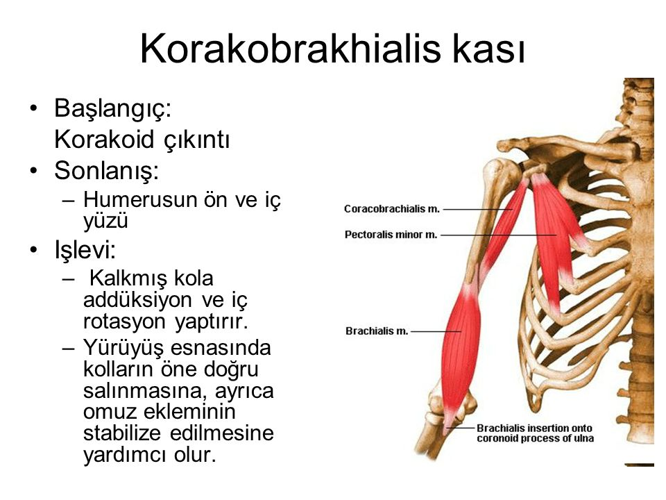 Korakobrakhialis kası