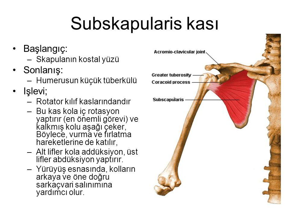 Subskapularis kası Başlangıç: Sonlanış: Işlevi; Skapulanın kostal yüzü
