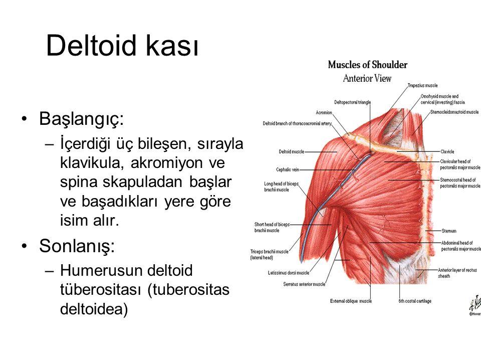 Deltoid kası Başlangıç: Sonlanış: